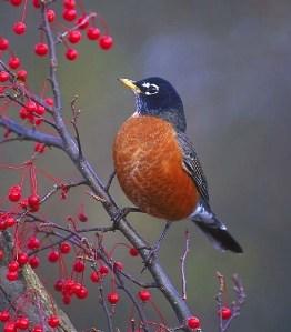 American-Robin-and-berries