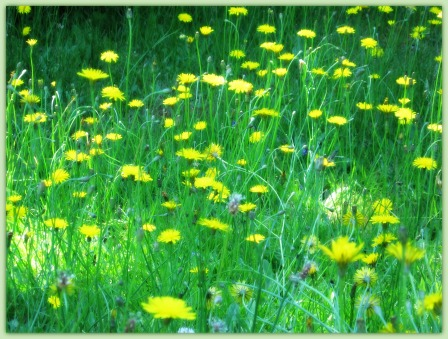 Dandelion Fields
