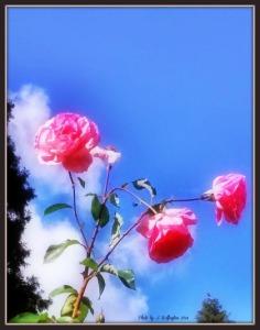Wild Roses2
